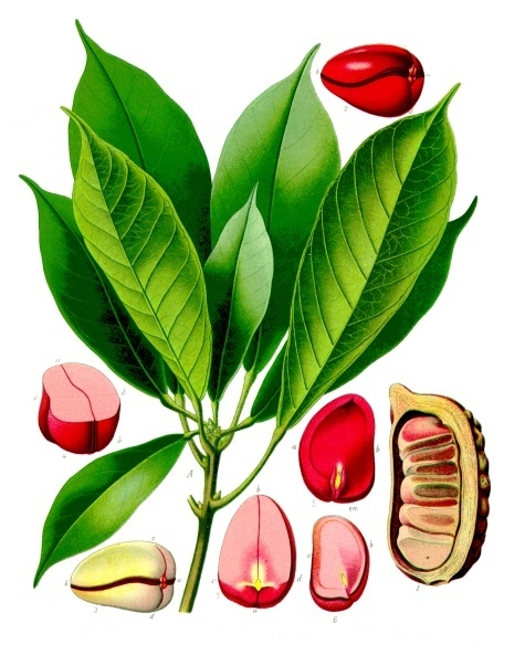 Cola_acuminata_-_Köhler–s_Medizinal-Pflanzen-190